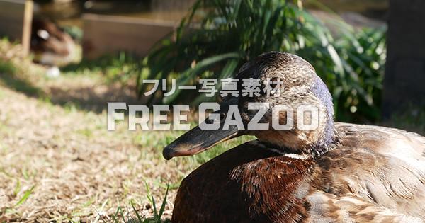 京都市動物園のカモ