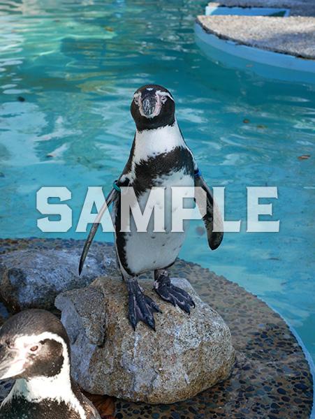 京都市動物園のフンボルトペンギン 1